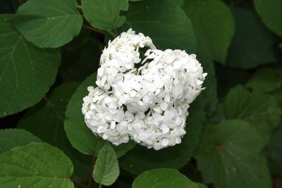 Hydrangea arborescens 'Grandiflora' (Hills Of Snow Hydrangea), inflorescence
