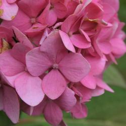 Hydrangea macrophylla 'Bailmer' (ENDLESS SUMMER, PP15298) (THE ORIGINAL® ENDLESS SUMMER® series Big-leaved Hydrangea PP15298), flower, full