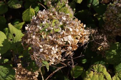 Hydrangea arborescens 'Grandiflora' (Hills Of Snow Hydrangea), infructescence