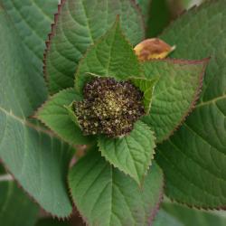Hydrangea macrophylla 'Bailmer' (ENDLESS SUMMER, PP15298) (THE ORIGINAL® ENDLESS SUMMER® series Big-leaved Hydrangea PP15298), bud, flower