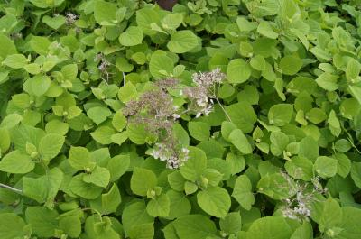 Hydrangea arborescens 'Grandiflora' (Hills Of Snow Hydrangea), habit, spring
