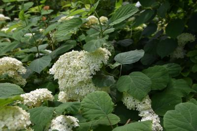 Hydrangea arborescens 'Grandiflora' (Hills Of Snow Hydrangea), habit, summer