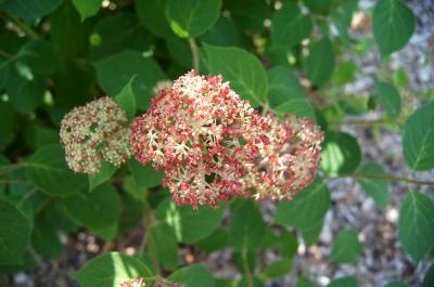 Hydrangea arborescens 'NCHA1' (INVINCIBELLE SPIRIT, PP20765) (INVINCIBELLE® series Spirit Wild Hydrangea PP20765), inflorescence