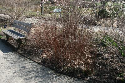Hydrangea cinerea 'Pink Pincushion' (Pink Pincushion Ashy Hydrangea), habit, spring