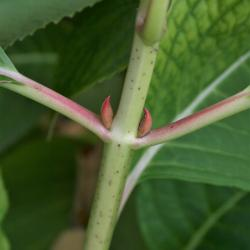 Hydrangea macrophylla 'Bailmer' (ENDLESS SUMMER, PP15298) (THE ORIGINAL® ENDLESS SUMMER® series Big-leaved Hydrangea PP15298), bark, stem