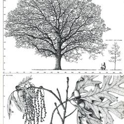 The evolution and diversification of the red oaks of the California Floristic Province (Quercus section Lobatae, series Agrifoliae)
