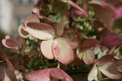Hydrangea paniculata 'DVP Pinky' (PINKY WINKY, PP16166) (PINKY WINKY™ Panicled Hydrangea PP16166), flower, full