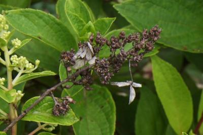 Hydrangea paniculata 'DVP Pinky' (PINKY WINKY, PP16166) (PINKY WINKY™ Panicled Hydrangea PP16166), fruit, mature