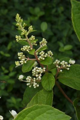 Hydrangea paniculata 'DVP Pinky' (PINKY WINKY, PP16166) (PINKY WINKY™ Panicled Hydrangea PP16166), bud, flower
