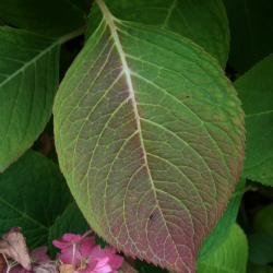 Hydrangea macrophylla 'Bailmer' (ENDLESS SUMMER, PP15298) (THE ORIGINAL® ENDLESS SUMMER® series Big-leaved Hydrangea PP15298), leaf, fall