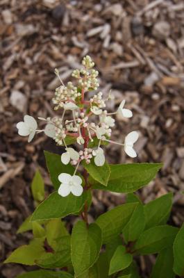 Hydrangea paniculata 'DVP Pinky' (PINKY WINKY, PP16166) (PINKY WINKY™ Panicled Hydrangea PP16166), inflorescence