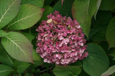 Hydrangea macrophylla 'Bailmer' (ENDLESS SUMMER, PP15298) (THE ORIGINAL® ENDLESS SUMMER® series Big-leaved Hydrangea PP15298), infructescence