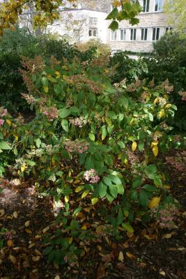 Hydrangea paniculata 'DVP Pinky' (PINKY WINKY, PP16166) (PINKY WINKY™ Panicled Hydrangea PP16166), habit, fall