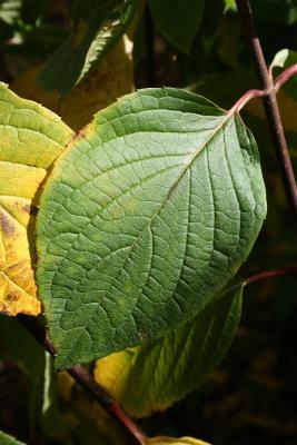 Hydrangea paniculata 'DVP Pinky' (PINKY WINKY, PP16166) (PINKY WINKY™ Panicled Hydrangea PP16166), leaf, upper surface