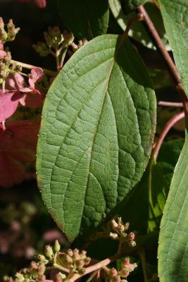 Hydrangea paniculata 'DVP Pinky' (PINKY WINKY, PP16166) (PINKY WINKY™ Panicled Hydrangea PP16166), leaf, summer
