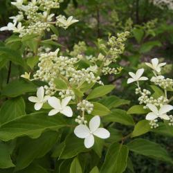 Hydrangea paniculata 'Le Vasterival' (GREAT STAR, PP20272) (GREAT STAR™ Panicled Hydrangea PP20272), inflorescence