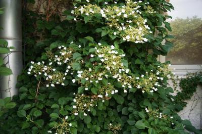 Hydrangea petiolaris (Climbing Hydrangea), inflorescence