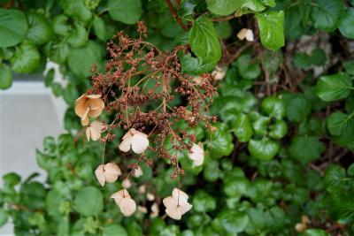 Hydrangea petiolaris (Climbing Hydrangea), infructescence