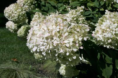 Hydrangea paniculata 'Limelight' (PP12874) (Limelight Panicled Hydrangea PP12874), inflorescence