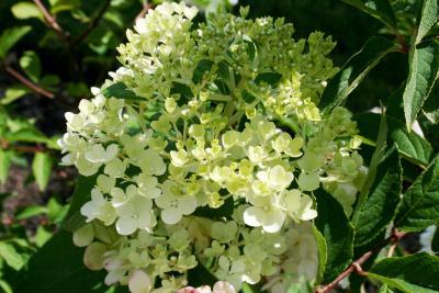 Hydrangea paniculata 'RENHY' (VANILLA STRAWBERRY, PP20670) (VANILLA STRAWBERRY™ Panicled Hydrangea PP20670), inflorescence