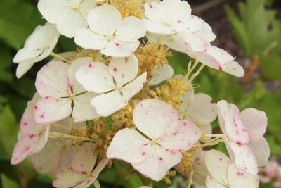 Hydrangea quercifolia (Oak-leaved Hydrangea), flower, sterile