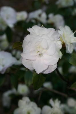 Rhododendron 'April Mist' (April Mist Rhododendron), flower, full
