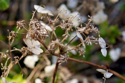 Hydrangea serrata 'Bluebird' (Blue Bird Mountain Hydrangea), infructescence