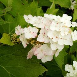 Hydrangea quercifolia, inflorescence