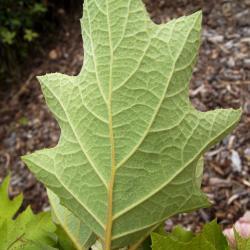 Hydrangea quercifolia, leaf, lower surface