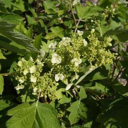 Hydrangea quercifolia (Oak-leaved Hydrangea), inflorescence