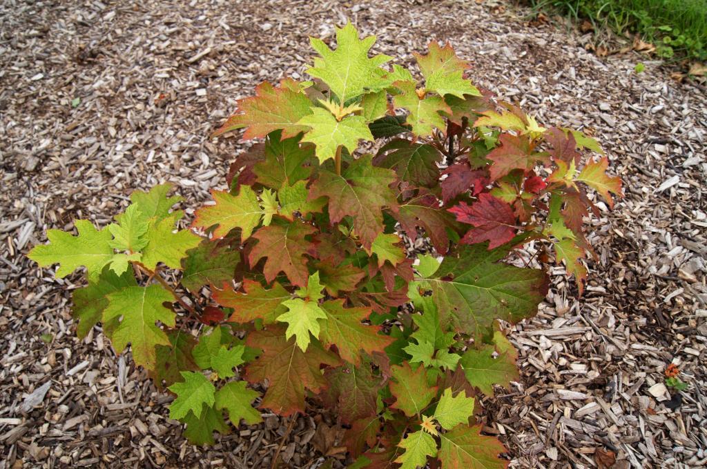 Hydrangea quercifolia 'Snow Queen' (PP 4458) (Snow Queen Oak-leaved Hydrangea PP4458), leaf, new