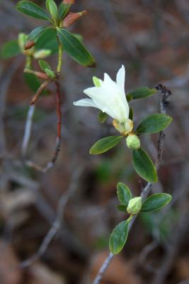 Rhododendron 'April Snow' (April Snow Rhododendron), flower, side