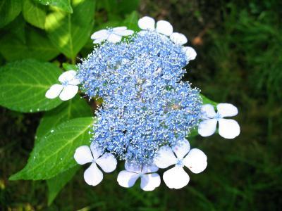 Hydrangea serrata 'Bluebird' (Blue Bird Mountain Hydrangea), inflorescence