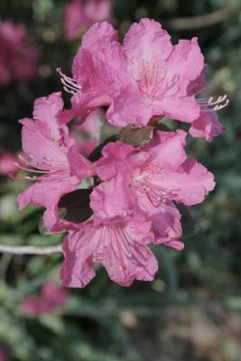 Rhododendron 'Landmark' (Landmark Rhododendron), flower, full