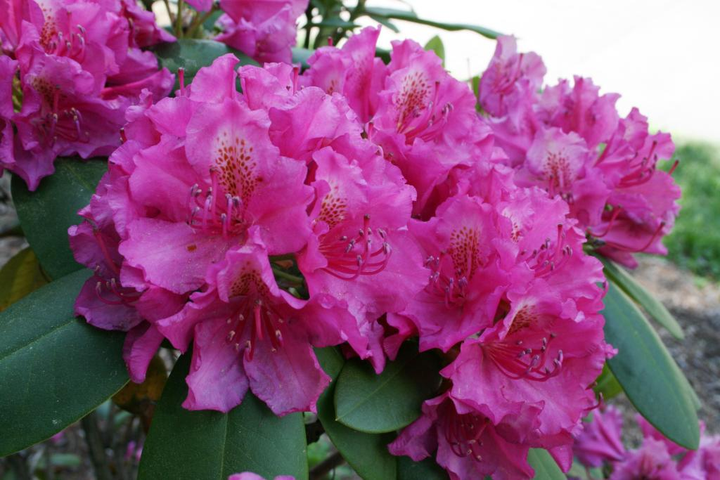 Rhododendron 'Pearce's American Beauty' (Pearce's American Beauty Rhododendron), inflorescence