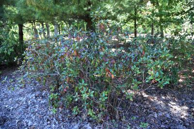 Rhododendron 'Landmark' (Landmark Rhododendron), habit, fall