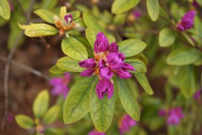 Rhododendron 'P.J.M.' (P.j.m. Rhododendron), bud, flower