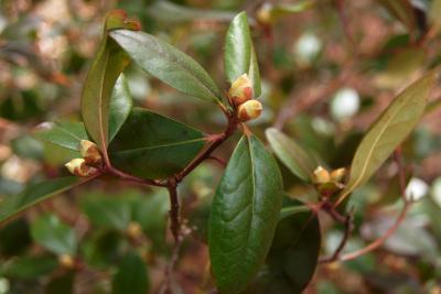Rhododendron 'Landmark' (Landmark Rhododendron), bud, flower