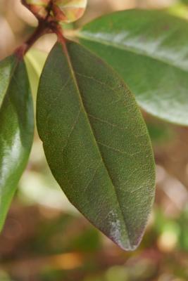Rhododendron 'Landmark' (Landmark Rhododendron), leaf, upper surface