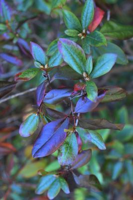 Rhododendron 'Landmark' (Landmark Rhododendron), leaf, fall