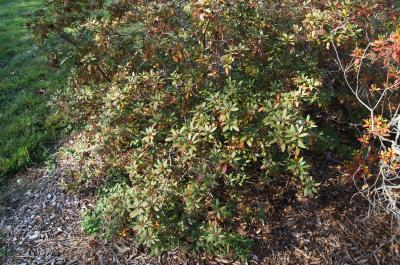 Rhododendron micranthum (Manchurian Rhododendron), habit, fall