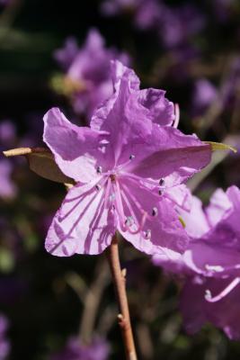 Rhododendron dauricum (Dahurian Rhododendron), flower, throat