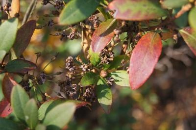 Rhododendron micranthum (Manchurian Rhododendron), fruit, mature