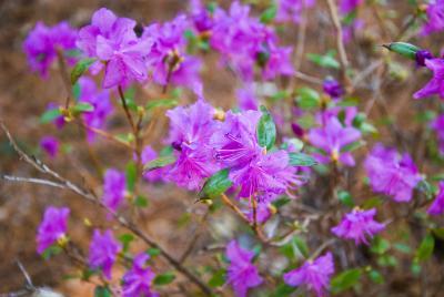 Rhododendron dauricum (Dahurian Rhododendron), flower, full