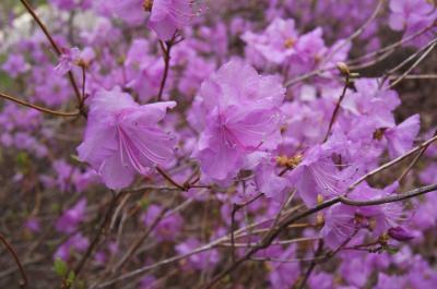 Rhododendron mucronulatum (Korean Rhododendron), inflorescence