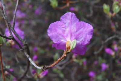 Rhododendron mucronulatum (Korean Rhododendron), flower, back