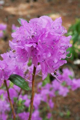 Rhododendron dauricum (Dahurian Rhododendron), inflorescence