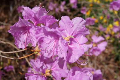 Rhododendron mucronulatum (Korean Rhododendron), flower, full