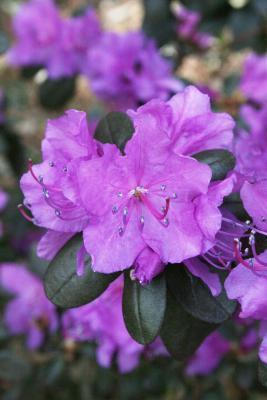 Rhododendron sichotense (Sikhote Mtn. Azalea), flower, throat