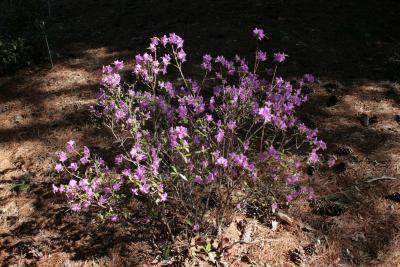 Rhododendron dauricum (Dahurian Rhododendron), habit, spring